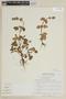 Salvia tafallae Benth., PERU, F