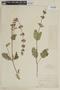 Salvia verbenacea L., PERU, F