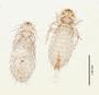 28936 Menacanthus campephili PT d IN