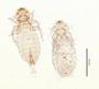 28936 Menacanthus campephili PT v IN