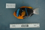 118647_Amphiprion_chrysopterus_lat_T170_1_FZ