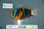 118647_Amphiprion_chrysopterus_T170_lat_2_FZ