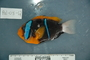 118647_Amphiprion_chrysopterus_T170_lat_3_FZ