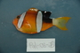 118648_Amphiprion_chrysopterus_lat_T338_FZ