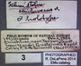 Schmidtolus chichivacus HT  labels