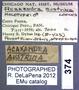 374 Acakandra austrina HT L