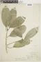 Ficus maxima image