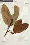 Ficus albert-smithii Standl., SURINAME, F