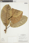 Ficus albert-smithii Standl., BRAZIL, F
