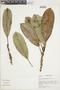 Ficus albert-smithii Standl., PERU, F