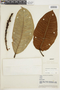 Ficus albert-smithii Standl., VENEZUELA, F