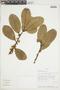 Ficus americana Aubl., BOLIVIA, F