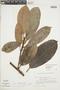 Ficus americana subsp. americana, ARGENTINA, F