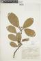 Ficus americana subsp. americana, ECUADOR, F