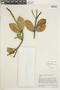 Ficus americana subsp. andicola (Standl.) C. C. Berg, VENEZUELA, F