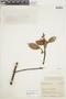 Ficus americana subsp. andicola (Standl.) C. C. Berg, COLOMBIA, F