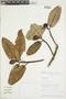 Ficus americana subsp. andicola (Standl.) C. C. Berg, PERU, F