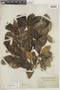 Ficus americana subsp. greiffiana (Dugand) C. C. Berg, BRITISH GUIANA [Guyana], F
