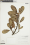 Ficus americana subsp. guianensis (Desv.) C. C. Berg, VENEZUELA, F