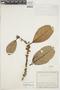 Ficus americana subsp. guianensis (Desv.) C. C. Berg, COLOMBIA, F