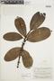 Ficus americana subsp. guianensis (Desv.) C. C. Berg, SURINAME, F