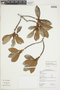 Ficus americana subsp. guianensis (Desv.) C. C. Berg, GUYANA, F