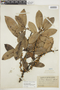 Ficus americana subsp. guianensis (Desv.) C. C. Berg, BRITISH GUIANA [Guyana], F