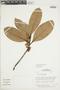 Ficus americana subsp. guianensis (Desv.) C. C. Berg, BRAZIL, F