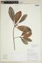 Ficus americana subsp. guianensis (Desv.) C. C. Berg, BOLIVIA, F