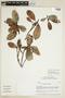 Ficus americana subsp. guianensis (Desv.) C. C. Berg, ECUADOR, F