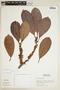 Ficus americana subsp. guianensis (Desv.) C. C. Berg, PERU, F