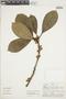 Ficus americana subsp. subapiculata (Miq.) C. C. Berg, PERU, F