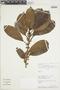 Ficus americana Aubl., PERU, F