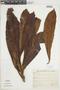 Ficus caballina Standl., BRAZIL, F