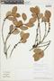 Ficus coerulescens (Rusby) Rossberg, PERU, F