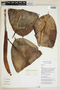 Ficus elastica Roxb., ECUADOR, F