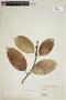 Ficus elastica Roxb., VENEZUELA, F