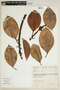 Ficus elastica Roxb., BRAZIL, F