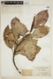Ficus elastica Roxb., BRITISH GUIANA [Guyana], F