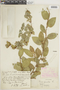 Ficus pumila image