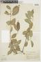 Ficus subtriplinervia Miq., BRAZIL, F
