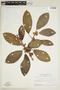 Ficus trigona L. f., SURINAME, F