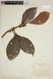 Ficus trigona L. f., COLOMBIA, F