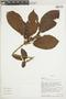Ficus trigona L. f., ECUADOR, F