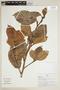 Ficus trigona L. f., PERU, F