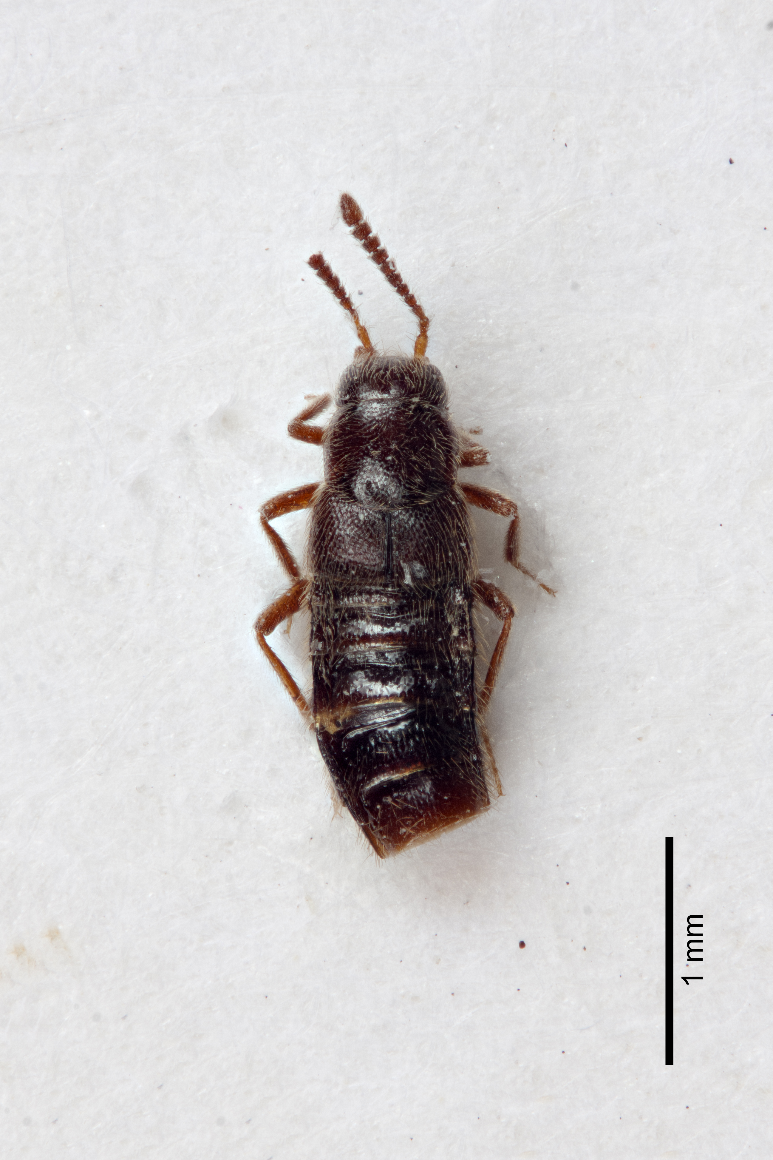 Image of Ocyusa brevipennis