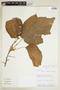 Croton chocoanus Croizat, ECUADOR, F