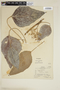 Aleurites moluccana image
