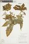 Cnidoscolus urens (L.) Arthur, VENEZUELA, F