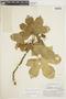 Cnidoscolus urens (L.) Arthur, BRITISH GUIANA [Guyana], F